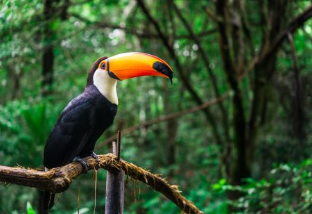Amazon Rainforest Day - Toucan bird