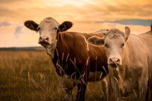 牛肉を食べることが気候変動、地球温暖化の最大の要因