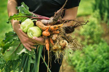 Just harvested organic vegetables