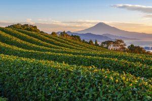 Beautiful plantation for fair trade tea