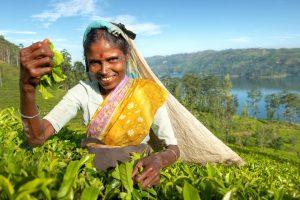 A woman picking fair trade tea leaves