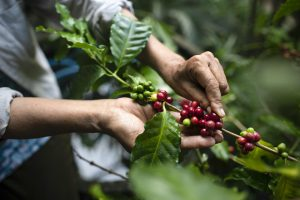 Fair trade coffee supports the growers