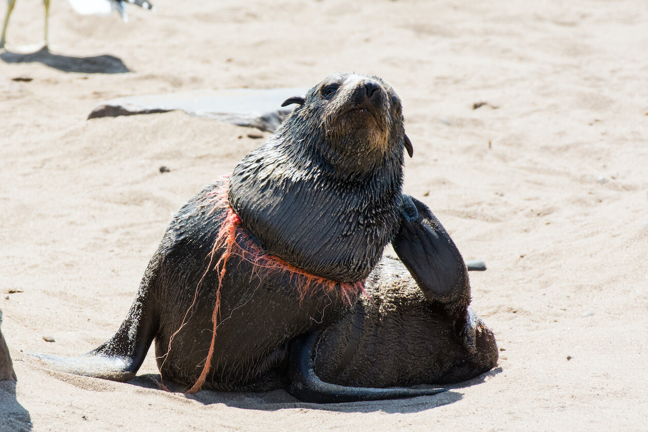 Poor Seal is injured as it is caught in plastic net caused by the excess plastic pollution in the ocean
