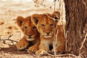 Raise awareness for these adorable lion cubs on World Animal Day!