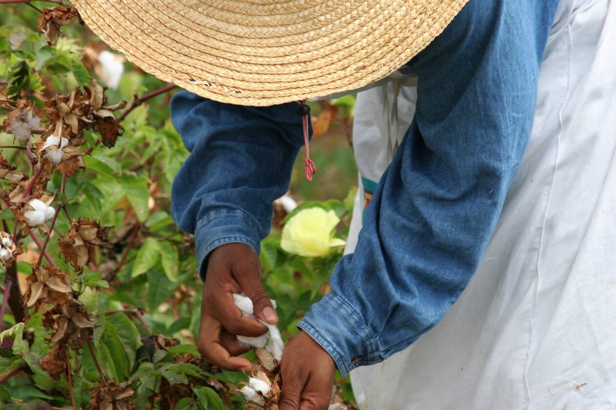 Farmer picking organic cotton