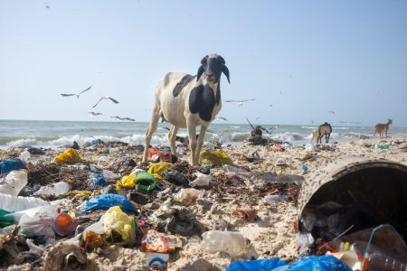 Plastic pollution with goats eating them