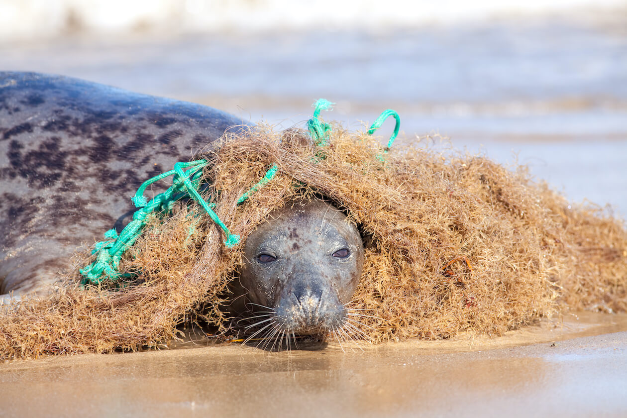 Seal trapped in plastic pollution(discarded net)