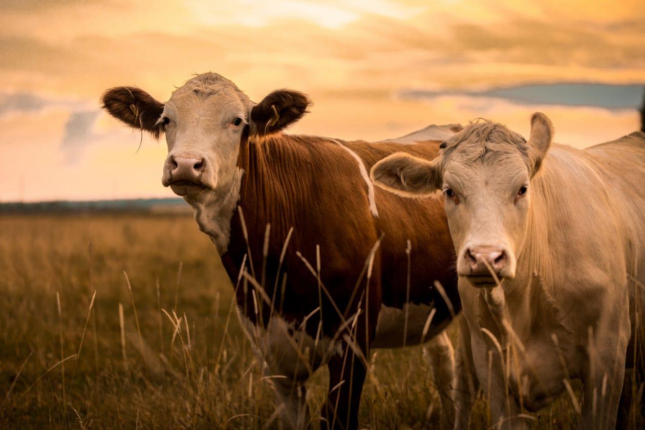 牛肉となる牛たち