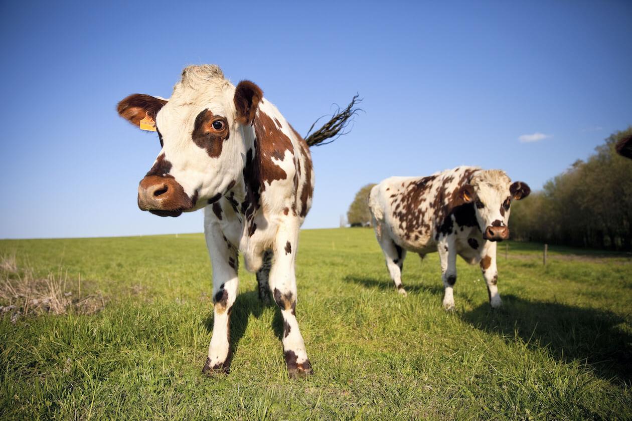 Happy cow- animal welfare