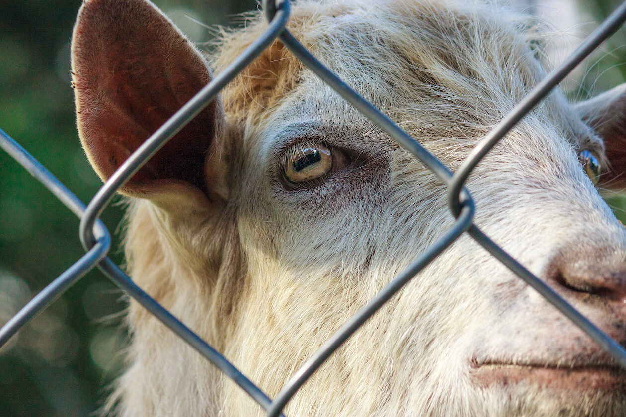Close up of lamb in cages
