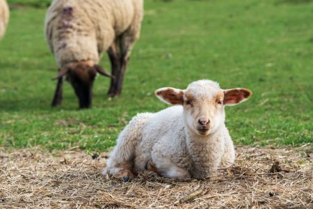 Adorable lamb resting: example of animal welfare