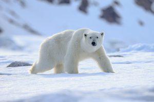 北極を歩くホッキョクグマ