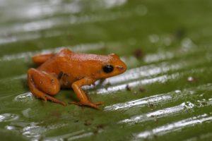 オレンジヒキガエルは絶滅危惧種