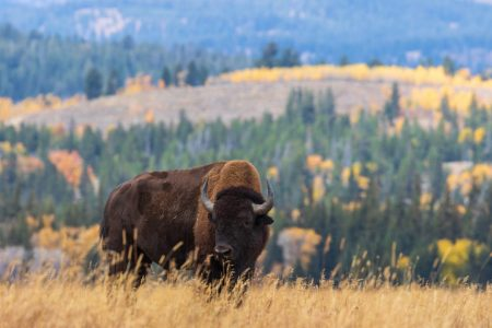 アメリカの牛が自然にいる写真
