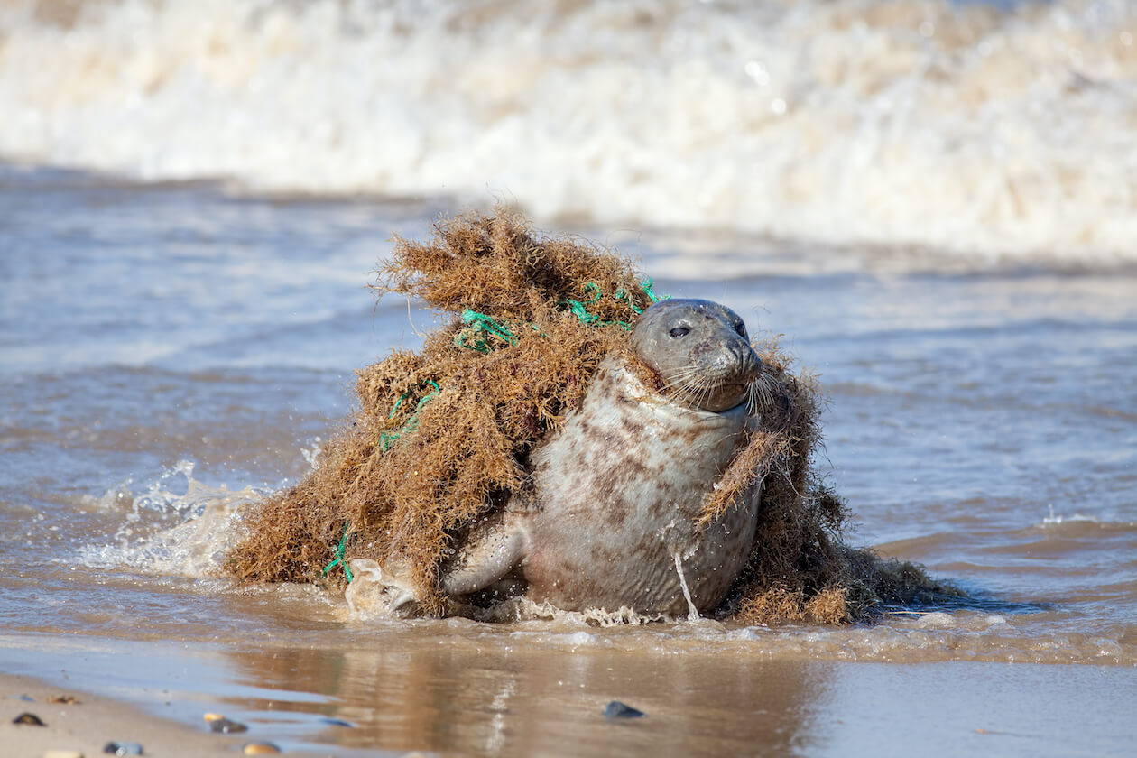 Plastic pollution's definition include these nets, as they are hurting marine animals.