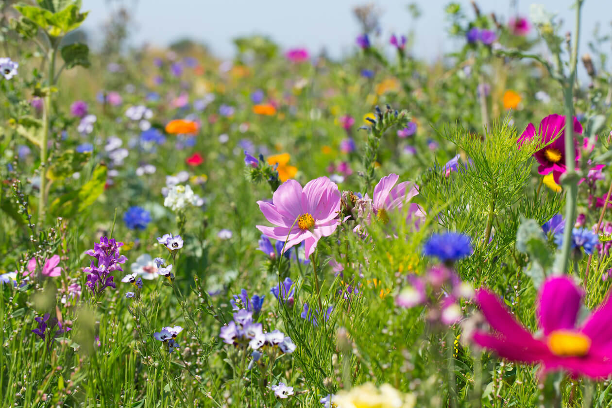 A beautiful meadows for bees