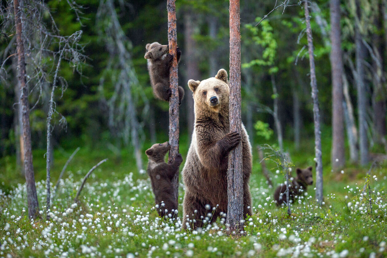 Bears in the nature