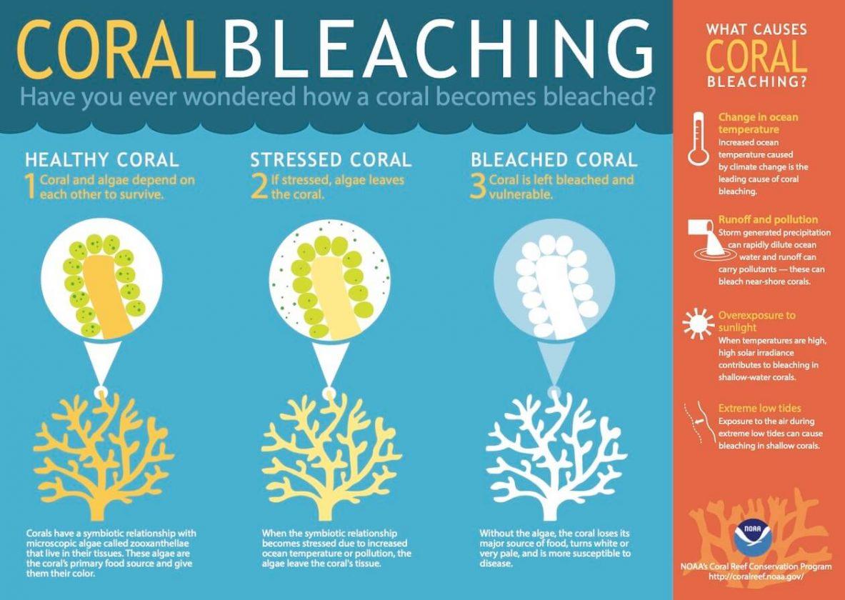 Coral bleaching Infograph
