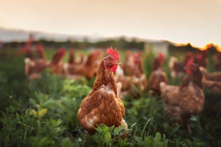 平飼い卵とは?ニワトリの過ごし方やケージ飼い・オーガニック卵との違いまで